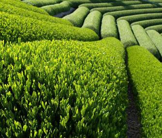 Чайное производство в Китае выросло на 400%