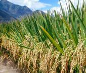В Ляонине из-за засухи сократится сбор зерновых