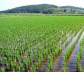 Засуха подкосит урожай