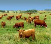 Китай стремительно наращивает импорт говядины