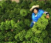 Китай – крупнейший импортер филиппинских бананов