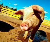В Поднебесной снижаются цены на свинину