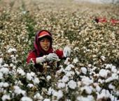 Синьцзян обеспечил 85% производства хлопка в КНР