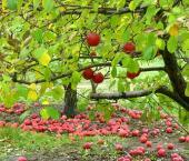 Фруктовый рынок: яблоко с пестицидами